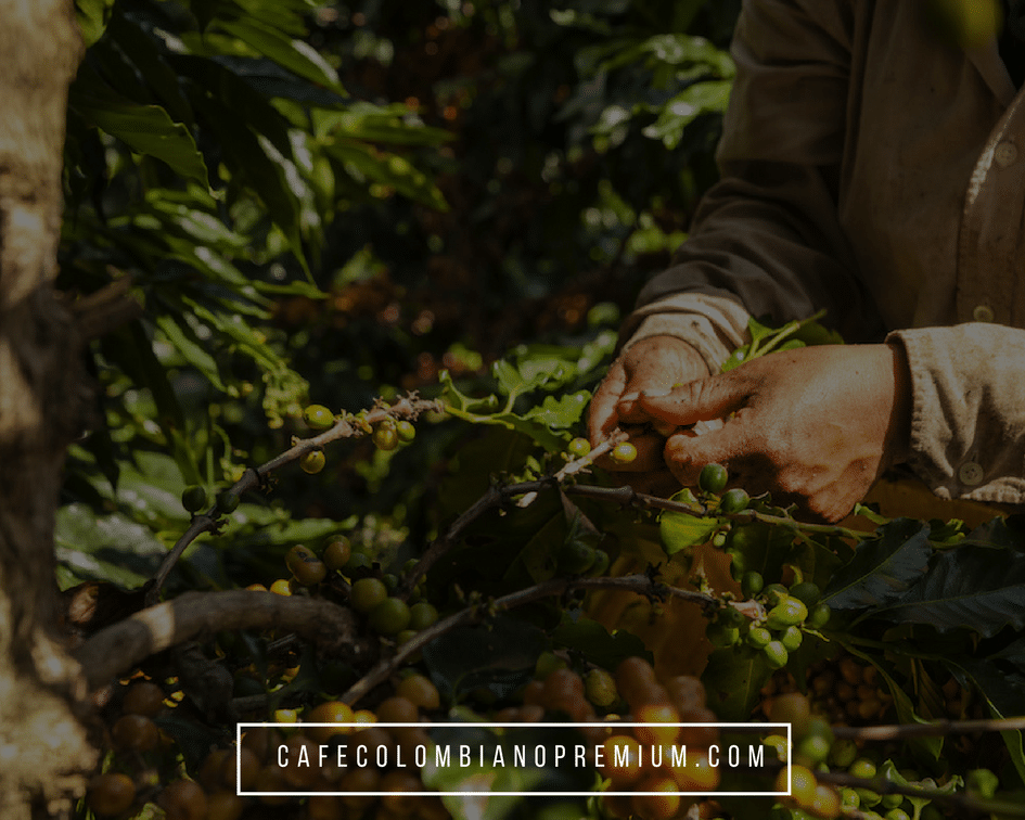 colombian-coffee-selective-picking