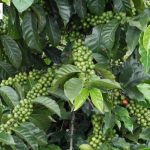 Colombia Green Coffee Beans