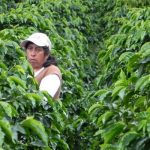Lady collecting Colombian Green Coffee Beans