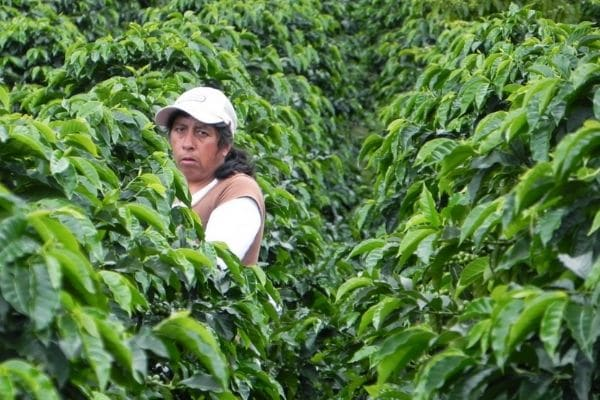 Woman collecting coffee in Colombia