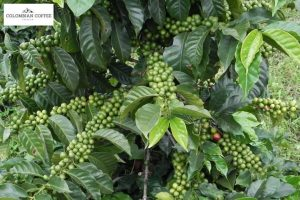 Colombia Green Coffee Beans in Farm
