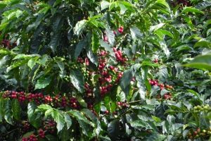 When to pick the Colombia Green Coffee Beans