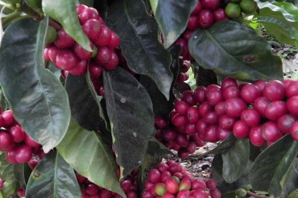 Ripe Red Coffee Beans