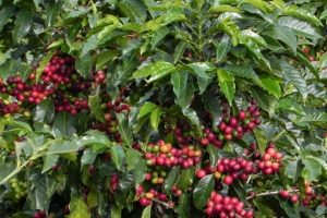 Red Colombia Green Coffee Beans